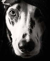 roxy-dalmatian-creative-photography.jpg