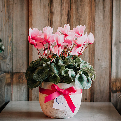 Large Potted Cyclamen