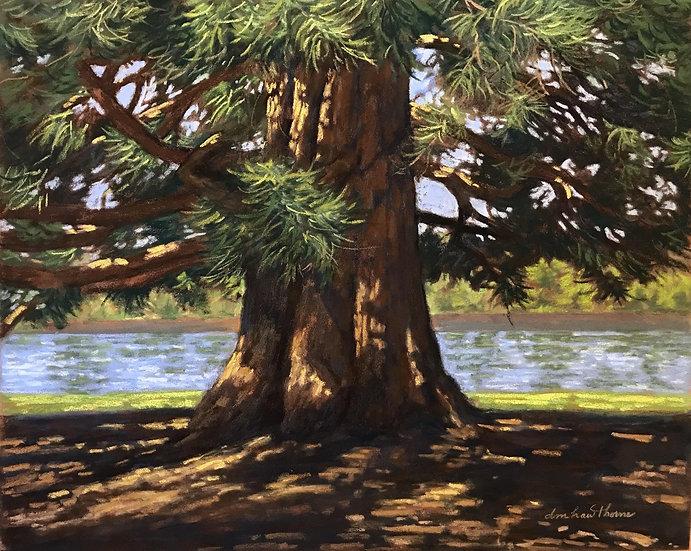 pastel dotty hawthrone giant sequoia canopy