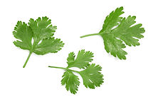 cilantro or coriander leaves isolated on