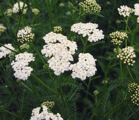 Yarrow (White) Flower Essence