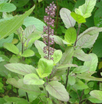 Holy Basil (Tulsi) Flower Essence