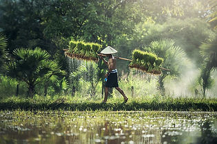 Cambodia-farmer carrying paddy.jpg