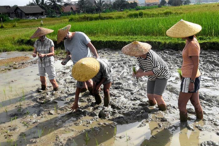 planting paddy.jpg
