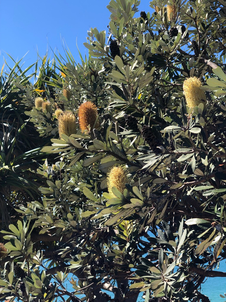 The Banksia bush has candle like flowers which is great for attracting native wildlife. The aboriginal people of Australia used the nectar from the flowers as part of their diet.