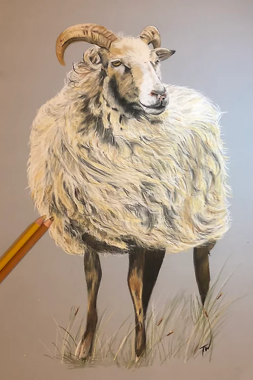 Sheep in the wind