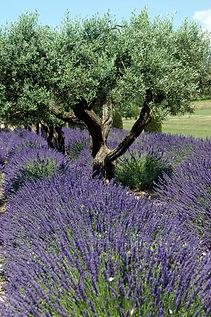 104 Lavender.jpg