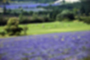 92 Lavender Fields Forever.JPG