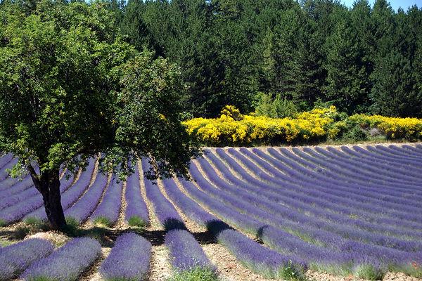 95 Lavender.jpg