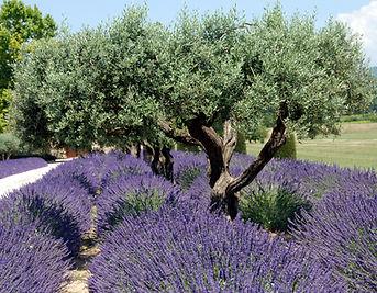 105 Lavender.jpg