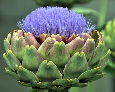 Artichoke Flower.jpg