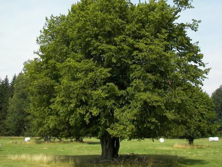 Gürgen Ağacı