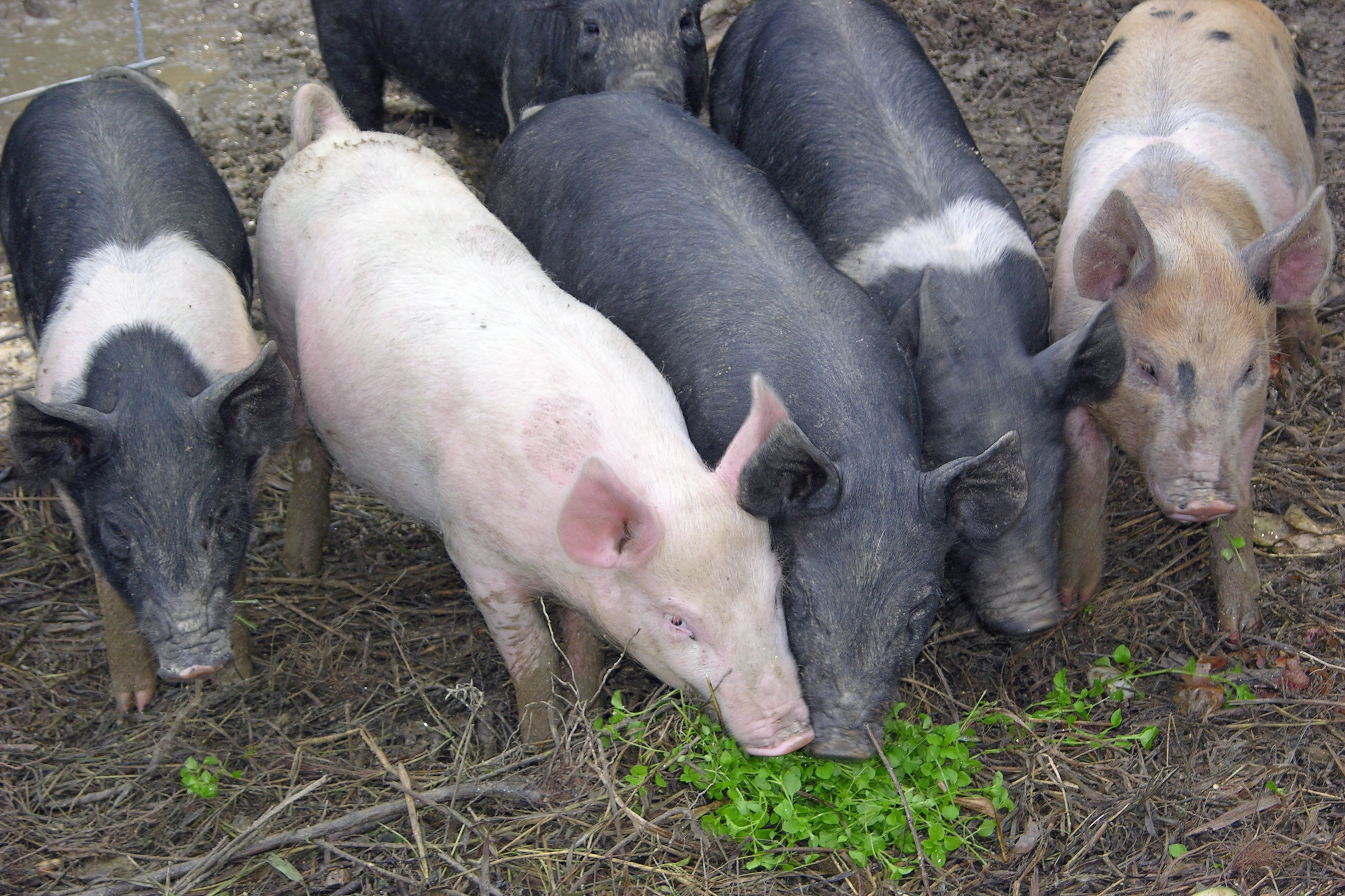 pigsss