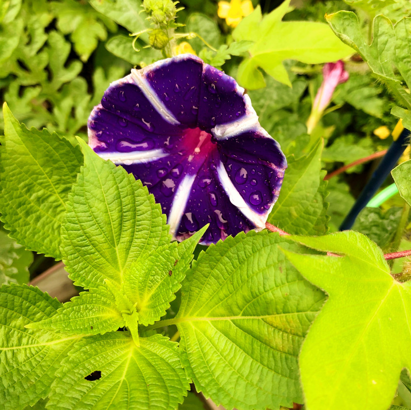 gardening asagao