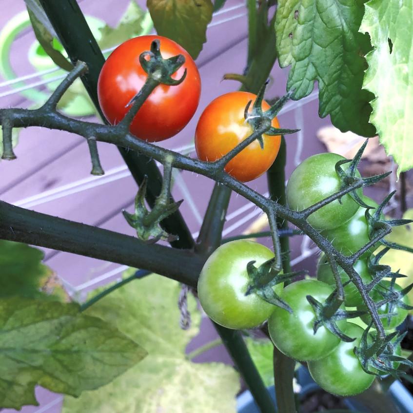 gardening-tomato
