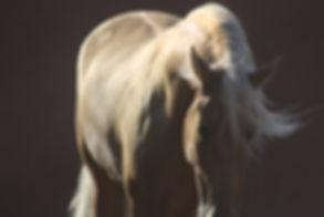 Spanish PRE stallion