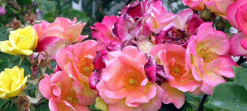 rose-masquerade-closeup.jpg