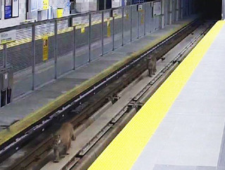 Cougar sightings in Port Moody
