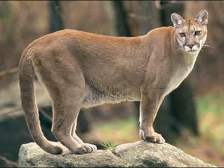 Cougar Sighting in Anmore