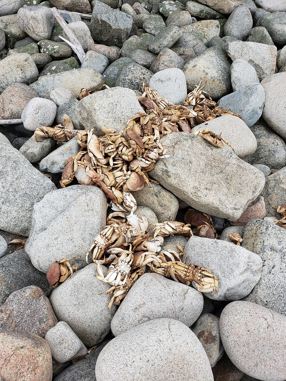 pile of dead crabs on rocks in Millbridge Maine