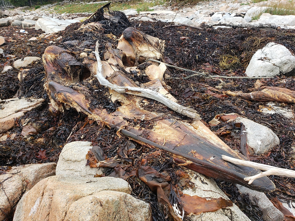 A decomposing minke whale skull rests upside down in a bed of seaweed
