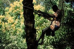 Récolte vin de palme en Casamance