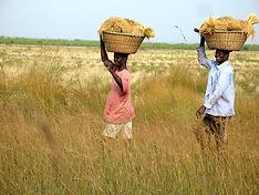Récolte de riz à la pointe Saint - Georg