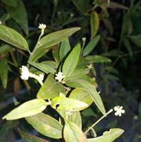 Marusa_flower_The_medicine_tribe.jpg
