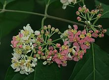 Ayahuasca_flowers_the_medicine_tribe.jpg