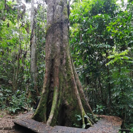 Noya_rao_tree_The_medicine_tribe.jpg