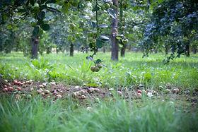 Cider Orchard Apples