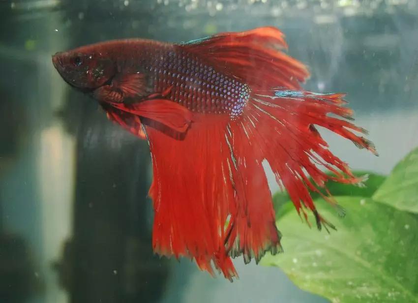 Betta fish with bitten tail