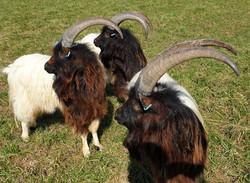 Our three breeding males