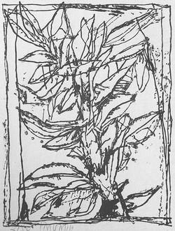 Plante 78 x 66