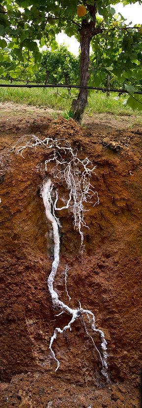 Vine Root.jpeg