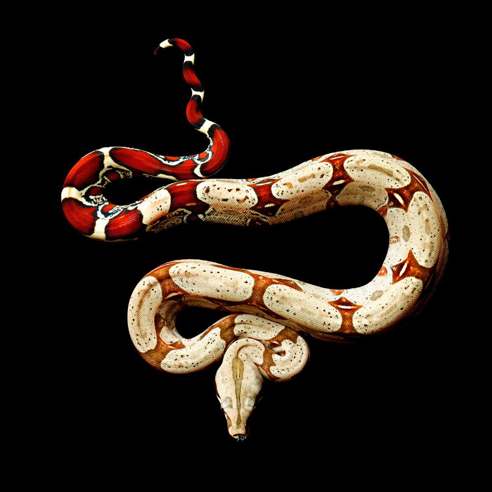 Jiboia (Boa constrictor constrictor).