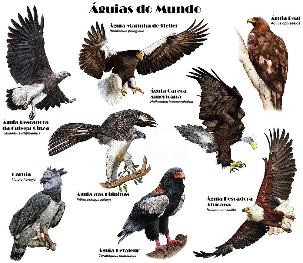 águias do mundo, águia