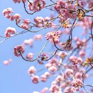 The Cherry Blossom