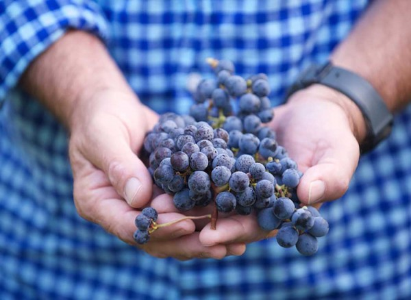 Preveli grapes in hand
