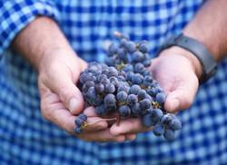 Preveli grapes in hand
