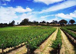 new-era-vineyard-picture