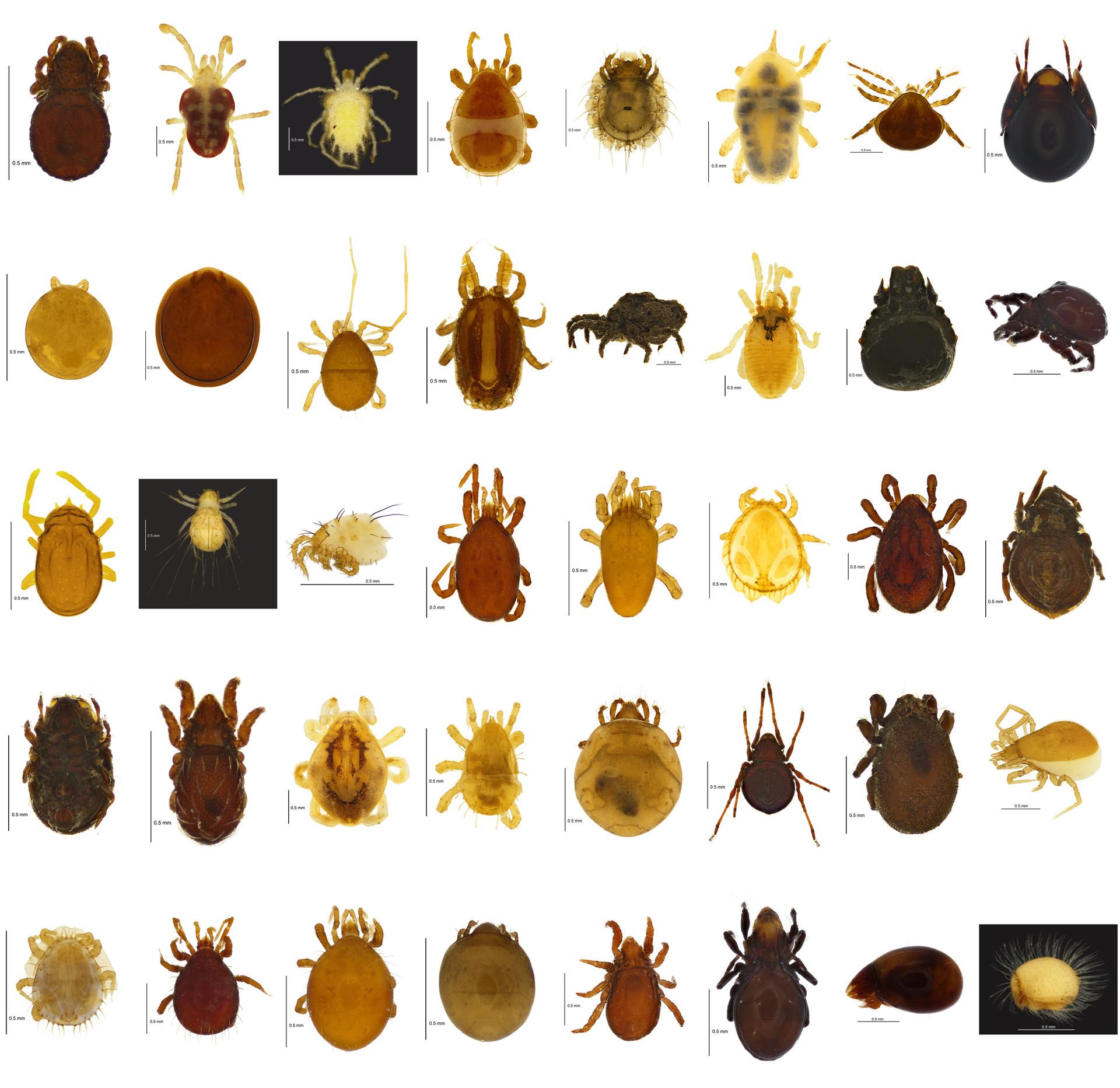 Underleaf I: Mites in the leaf litter