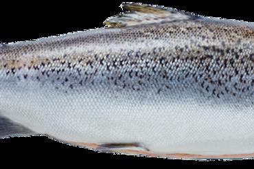 Whole Petuna Salmon, cleaned (4 kg +)