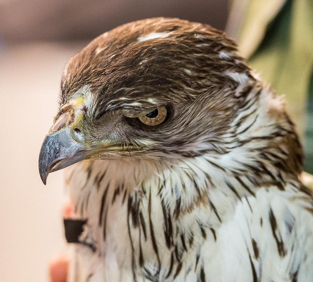 Aquila fasciata recapturada com marca alar, 25 anos depois de ser anilhada