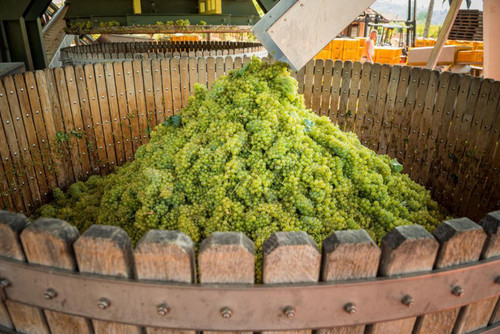 Chardonnay grapes in Franciacorta