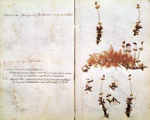 Flora petrinsularis (1782)