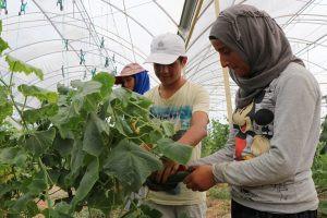 Suriyeli mülteciler konteyner kentte kurulan seralarda kendi sebzelerini üretiyor