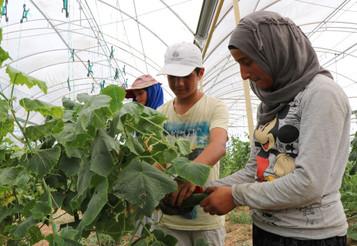 Adana'nın Sarıçam ilçesinde 30 bin Suriyeli mülteci 400 dönüm tarım arazisinde mucizeler yaratıy