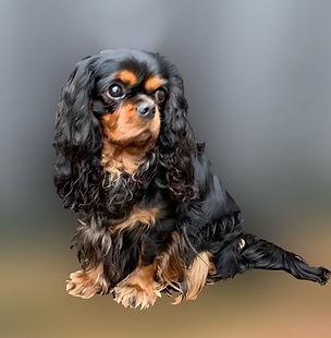 Cavalier-Beauties-Tess-zwanger pups.jpg