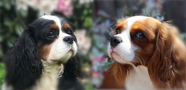 Cavalier Beauties Ollie en Evy.JPG